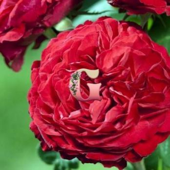 Роза Жюбиль Лаперрье 150 | Jubile Laperriere  150 ans  (чайно-гибридные)
