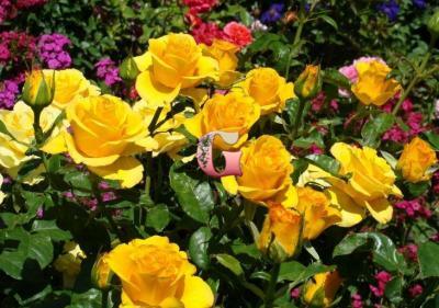 Роза Керио | Kerio (чайно-гибридные)