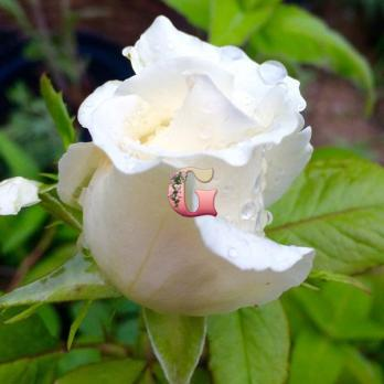 Роза Мачо | Macho (чайно-гибридные) (осень 2020 г.)