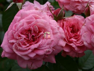 Роза Заида | Zaida (Шраб)