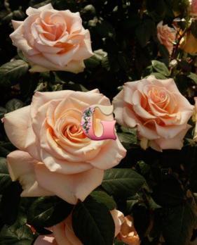 Роза Мэрлин Монро | Marilyn Monroe (чайно-гибридные)
