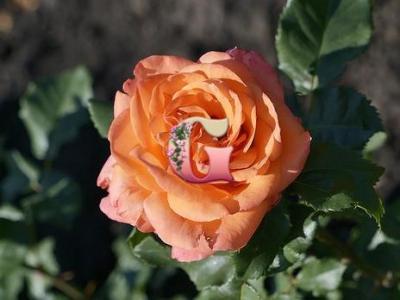 Роза Папайя | Papaya (чайно-гибридные)