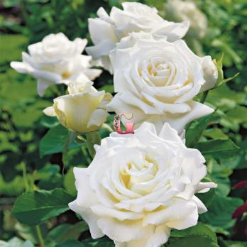 Роза Папа Иоанн Павел II | Pape Jean Paul II (чайно-гибридные)