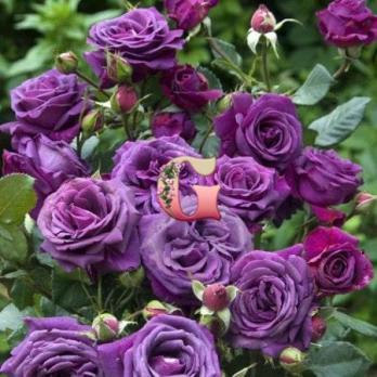 Роза Парфюм дэ Рев | Parfum de Reve (чайно-гибридные)(осень 2020 г)