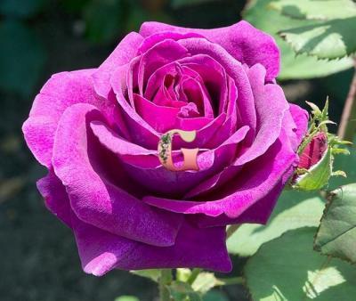 Роза Парфюм дэ Рев | Parfum de Reve (чайно-гибридные)( Весна2021 г)