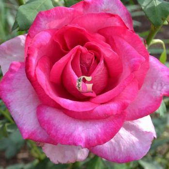 Роза Пароле | Parole (чайно-гибридная)