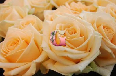 Роза Пич Аваланж | Peach Avalanche (чайно-гибридные)