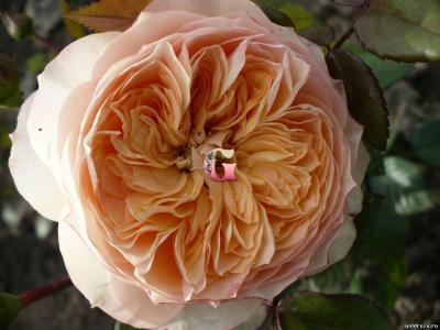 Роза Сурир де Хавр   Sourire du Havre (чайно-гибридная) (Весна 2021 г.)