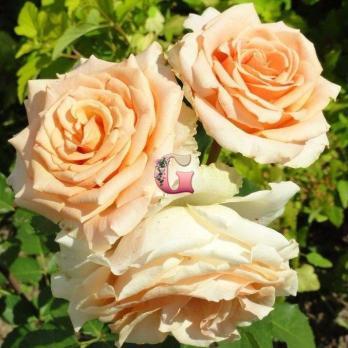 Роза Валенсия | Valencia (чайно-гибридные)
