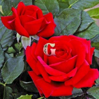 Роза Валентино | Valentino (чайно-гибридные)