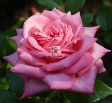 Роза Веддинг Белз | Wedding Bells (чайно-гибридные)