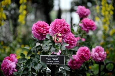 Роза Ив Пьяже | Yves Piaget (чайно-гибридная)(Весна 2021 г.)