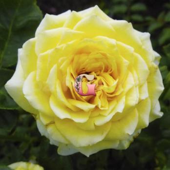 Роза Мистери Гёрл | Mystery Girl (чайно-гибридные)