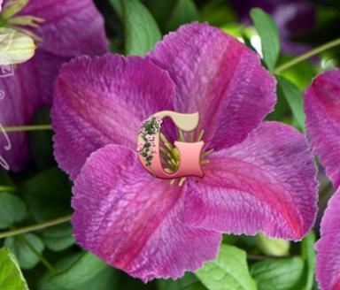 Клематис Фиолетовый Мазури | Mazurek (Контейнер P9)