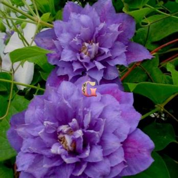Клематис Гибридный Бьюти Оф Вочестер | Beauty of Worcester (Р9)