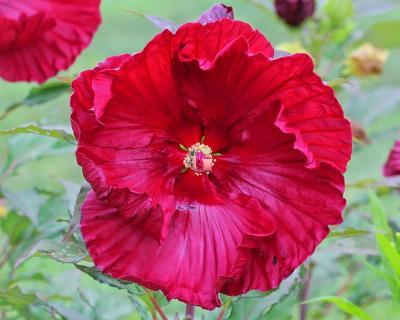 Гибискус Травянистый Крэнберри Краш | Cranberry Crush