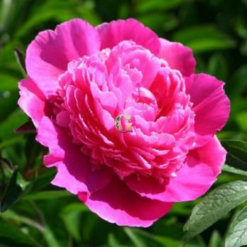 Пион Букет Перфект | Bouquet Perfect (травянистый)(осень 2020г)