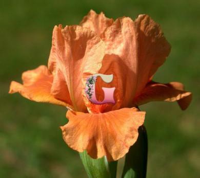 Ирис Карликовый Тиклд Пич | Tickled Peach (1 шт.)