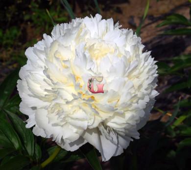 Пион Боул оф Крим | Bowl of Cream (травянистый )(осень 2020г)