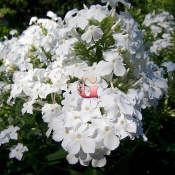 Флокс Метельчатый Уайт Спарр | White Sparr
