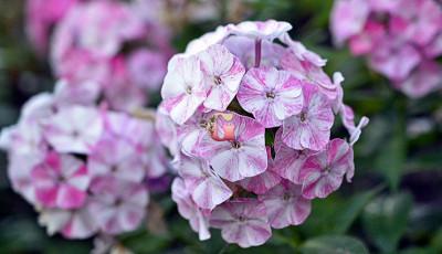 Флокс Метельчатый Попурри Пурпл | Potpourri Purple