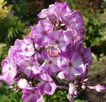 Флокс Метельчатый Фрекл Пёпл Шейдес | Freckle Purple Shades