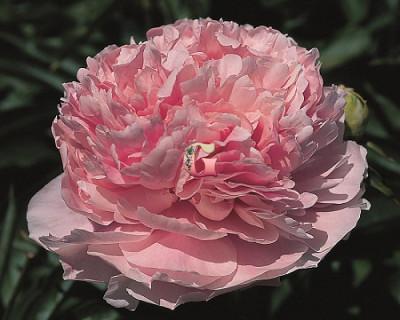 Пион Пинк Пэрфейт | Pink Parfait (Травянистый) (Осень 2021г.)