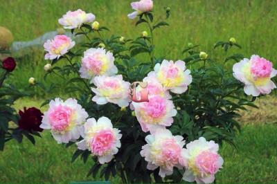 Пион Распберри Сандей | Raspberry Sundae (Травянистый)
