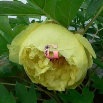 Пион Йеллоу Краун | Yellow Crown  (ИТО) )