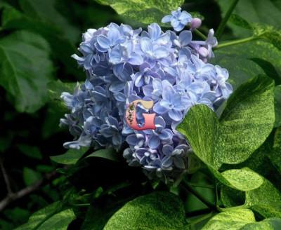 Сирень Аукубафолия | Aucubaefolia (Привитая) (ОКС)