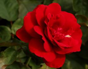 Роза Европиано | Europeana (Флорибунда)