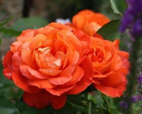 Роза Супер Трупер | Super Trouper (флорибунда)(Осень 2021 г.)