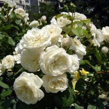 Роза Парки | Parky (шраб)