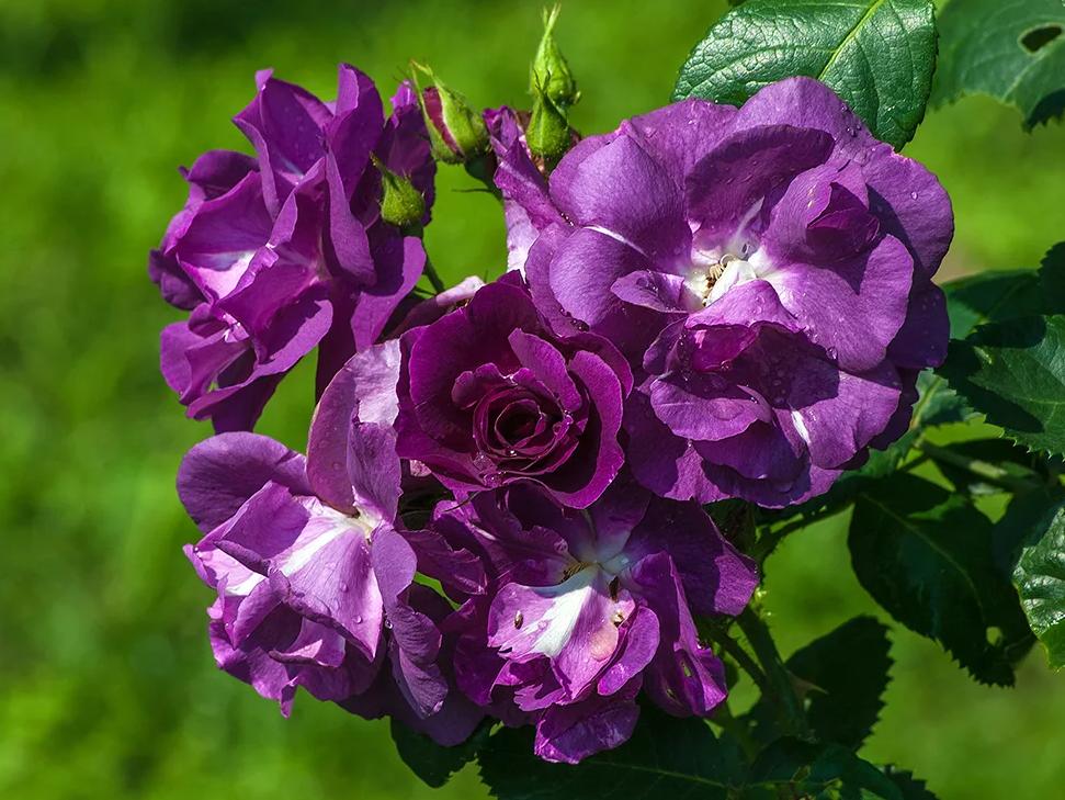 Роза рапсодия ин блю фото и описание