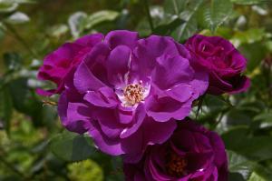 Роза Рапсоди ин Блю | Rhapsody in Blue (шраб)