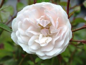 Роза Свани | Swany (шраб)