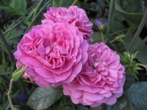 Роза Блю Бой | Blue Boy (шраб)