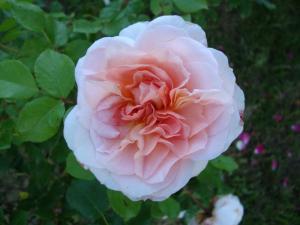 Роза Шлосс Ойтин    Schloss Euti (шраб)