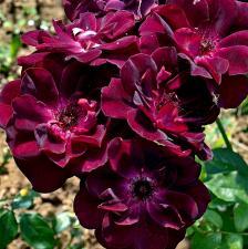 Роза Бургунди Айс | Burgundy Ice (шраб)