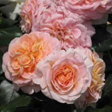 Роза Концерто 94 | Concerto 94 (шраб)