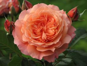 Роза Бельведер | Belvedere (шраб) (осень 2019г.)