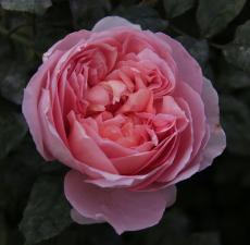 Роза Дам де Шенонсо | Dames de Chenonceau (шраб)