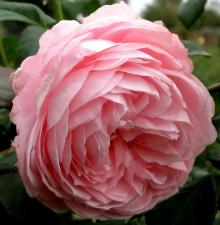 Роза Нахема | Nahema (Плетистые)