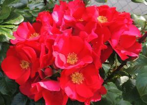Роза Робуста | Robusta (плетистые)