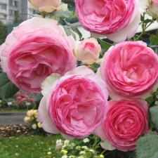 Роза Эден Роуз | Eden Rose (плетистые)(осень 2020 г)