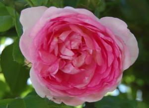 Роза Жасмина | Jasmina (плетистые)