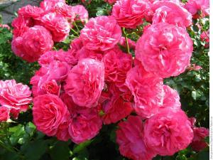 Роза Розариум Ютерзен | Rosarium Uetersen (плетистые)