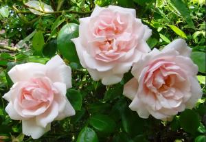 Роза Нью Давн | New Dawn (Плетистые)