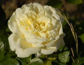 Роза Эльф | Elfe (плетистые) (Весна 2021г.)