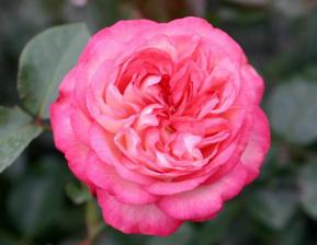 Роза Антик 89 | Antike 89 (плетистые)